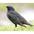 Breeding plumage. Note: yellow bill.
