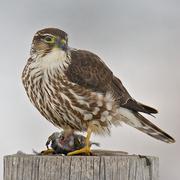 Taiga female Merlin