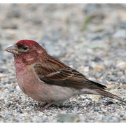 Male. Note: dark red crown, streaked back, and fine streaks on flanks