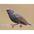 Nonbreeding plumage. Note: white spots.