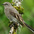 Note: complete white eye-ring and rufous patches on wing.