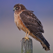 Juvenile Northern Harrier. Note: buffy breast.