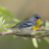 Male. Note: gray head, white eye arcs, black/rufous breast band, and white belly.