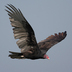 Adult. Note: dihedral flight and pale primaries/secondaries