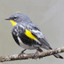 "Breeding male ""Audubon"