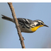 Note: white supercilium, bright yellow throat, and white neck spot.